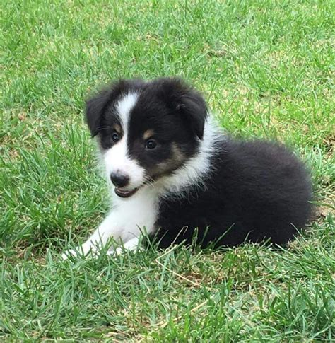 sheepdog puppies shetland sheepdog tricolour puppy ipswich suffolk pets4homes