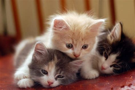 beautiful kittens animal babies beautiful cat cats kittens 4loveimages