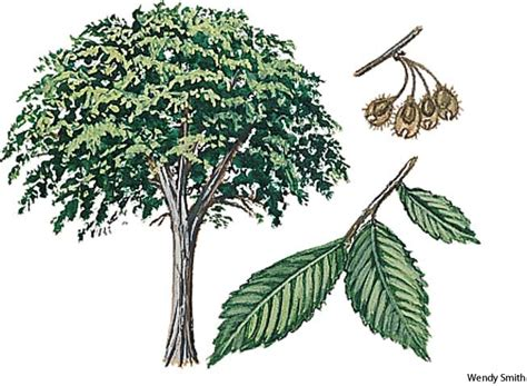 elm tree meaning american elm dictionary definition american elm defined