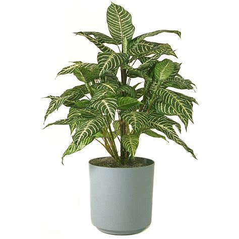 indoor plant schefflera information pictures indoor flower