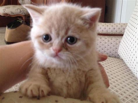 shorthair x ragdoll shorthair x ragdoll kitten in kettering sold