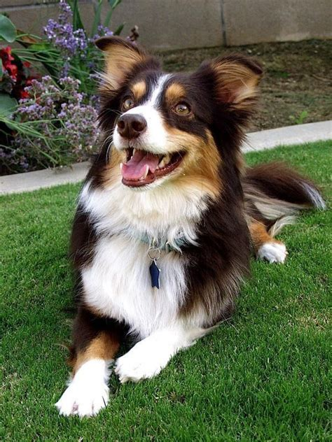 corgi australian shepherd mix puppies corgi aussie mix fur baby shops miniature and kern county