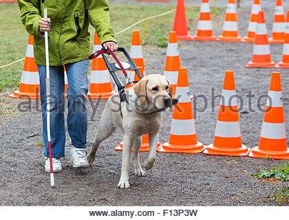 golden retriever blind guide blind and guide dogs during the last for the animals stock photo