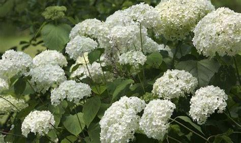 late flowering shrubs uk gardening top five late summer flowering bushes garden
