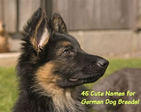 german shepherd puppy names 45 best names for german shepherd puppies german shepherd puppies german