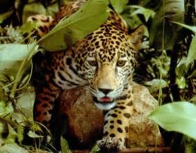 Rainforest Jaguars Amazing Amazonia Rainforest 46 Pics