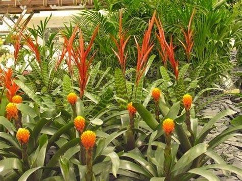 zenzero fiore come coltivare piante di zenzero in casa