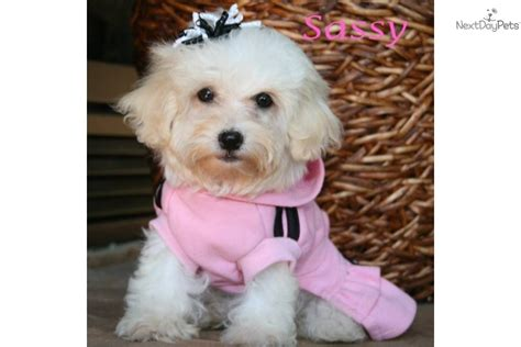 baby havanese puppies havanese puppy for sale near rock arkansas 4db9c886 ad51