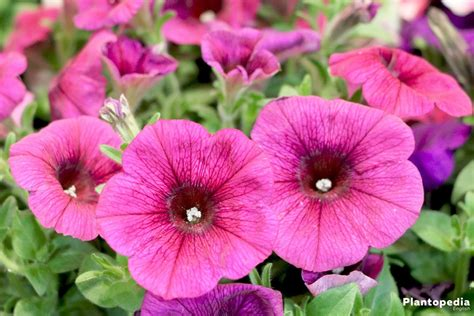 petunia flowers how to plant grow and care from seeds