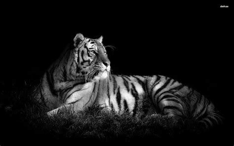 black and white tiger wallpaper black and white tiger wallpaper wallpapersafari