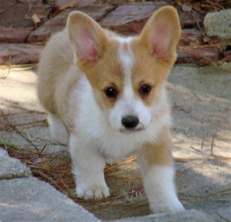 corgi puppies tucson cloe the pembroke corgi puppies daily puppy