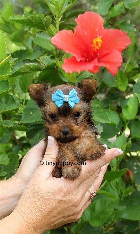 teacup yorkie puppies for sale in chicago yorkie teacup for sale chicago breeds picture
