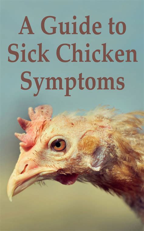 sick symptoms a guide to sick chicken symptoms countryside network