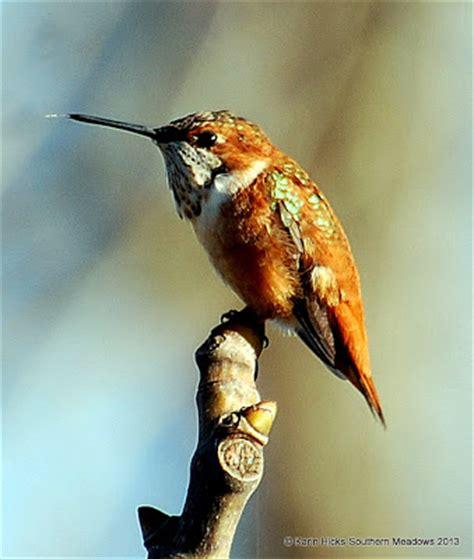 southern meadows hummingbird migration season