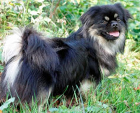 shih tzu x tibetan spaniel tibetan spaniels the intelligent small dogs doggyzoo comdoggyzoo