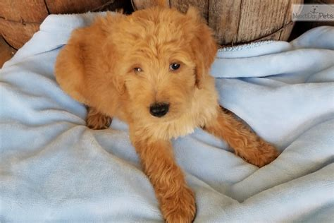 doodle puppies for sale missouri winston goldendoodle puppy for sale near springfield