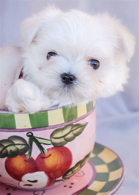 teacup puppies fort lauderdale teacup maltese puppies for sale in south florida teacups fort breeds picture