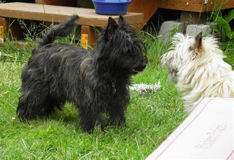 akc cairn terrier puppies for sale large cairn terrier puppies for sale dogs our friends photo
