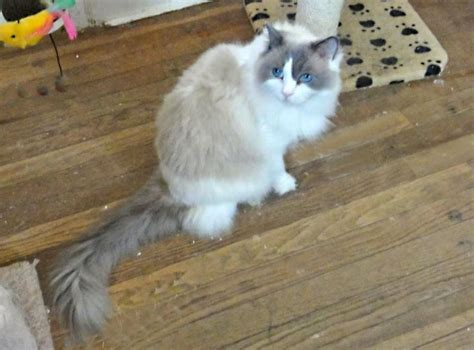 a ragdoll to highspire pa 1000 images about ragdolls up for adoption on