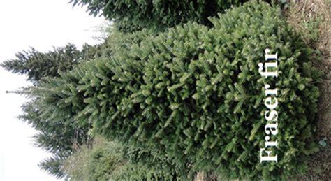 douglas fir or fraser fir tree 28 images tree tree