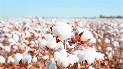 cotton initiative bci worlds largest cotton
