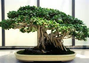 ficus microcarpa ou ficus bonsa 239 ficus ginseng culture