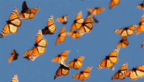 imagenes de mariposas en vuelo butterfly 73 septiembre 2013