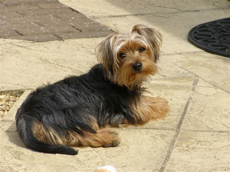 yorkie puppy size terrier 20 months medium size worksop nottinghamshire pets4homes