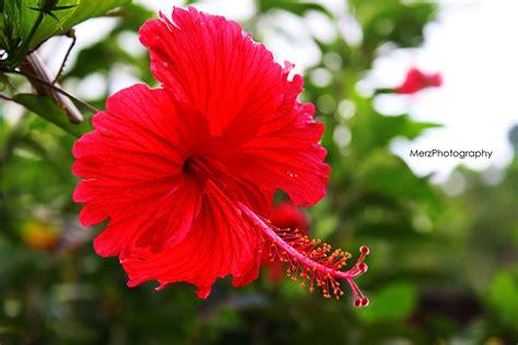 wallpaper bunga terompet bunga raya images reverse search