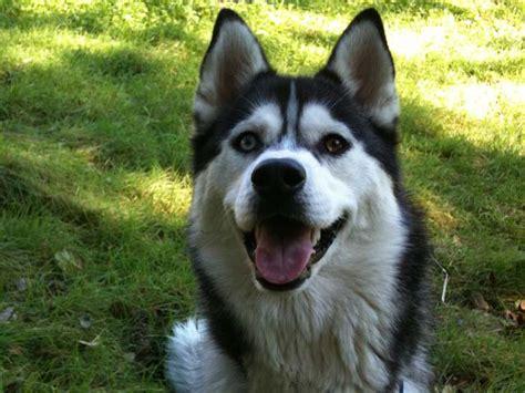 Do Siberian Huskies Shed by Siberian Husky Shedding