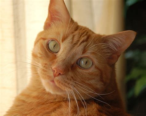 wallpaper yellow cat red cat with yellow eyes wallpapers and images