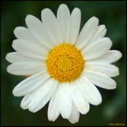 Daisy Plants File Leucanthemum Vulgare Oxeye Daisy 5981645737 Jpg Wikimedia Commons