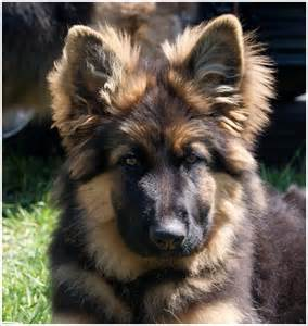 Crooked river german shepherds home