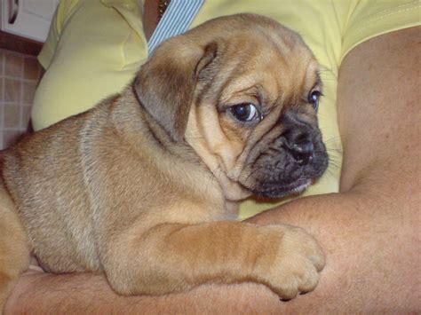 peagle puppies for sale peagle puppy tredegar blaenau gwent pets4homes