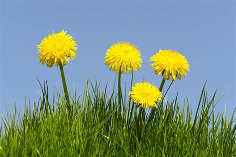 What Can You Make With a Dandelion Flower