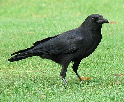 american crow celebrate urban birds