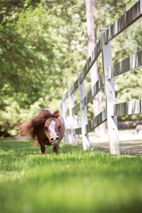 meet thumbelina  worlds smallest horse