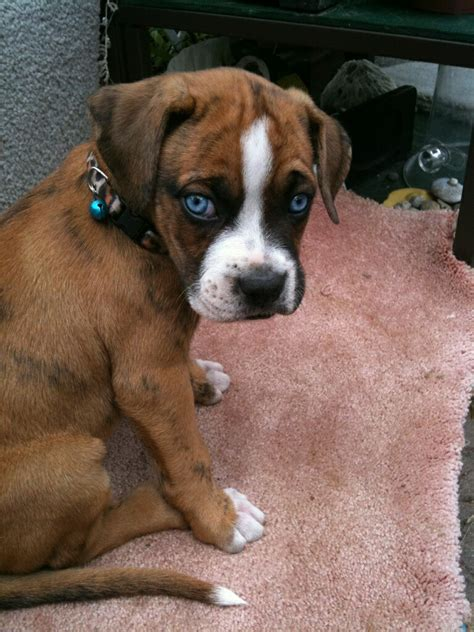 blue boxer puppies boxer forum boxer breed forums boxers boxer breed forum and