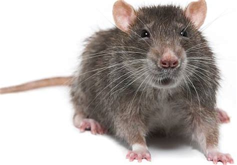 rodent infestations five tips for stopping one before it
