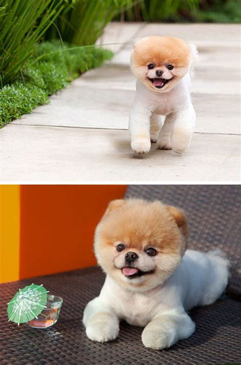 caring for a pomeranian puppy best 25 pomeranian boo ideas on pomeranian