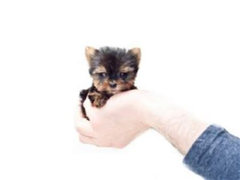 teacup yorkies for sale in columbus ohio terrier puppies for sale yorkie puppies for sale in ohio affordable pup