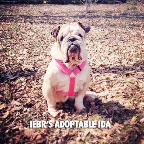 bulldog puppies peoria il il bulldog rescue peoria