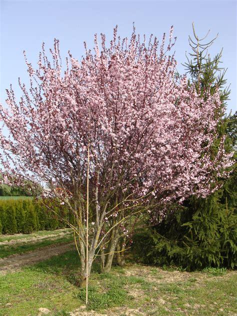 prunus cerasifera nigra purple leaved flowering plum stock photo pictures