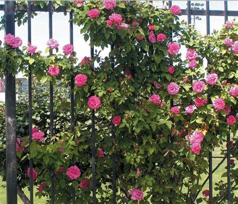 Bibit Mawar Rambat cara menanam mawar rambat climbing bibitbunga