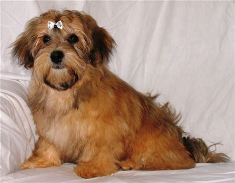 havanese standard havanese owners association hola ontario s havanese breed club