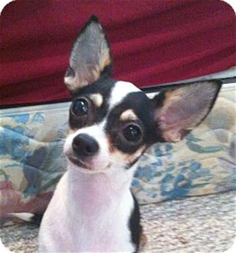 rat terrier shih tzu mix for sale black rat terrier chihuahua mix
