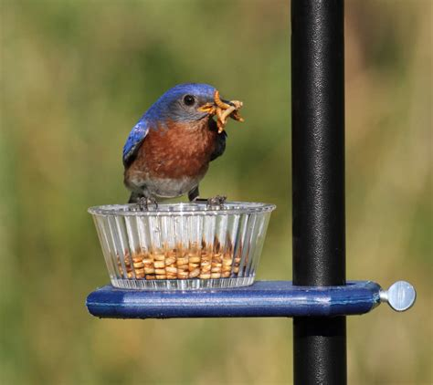 duncraft pole mount bluebird mealworm bird feeder ebay