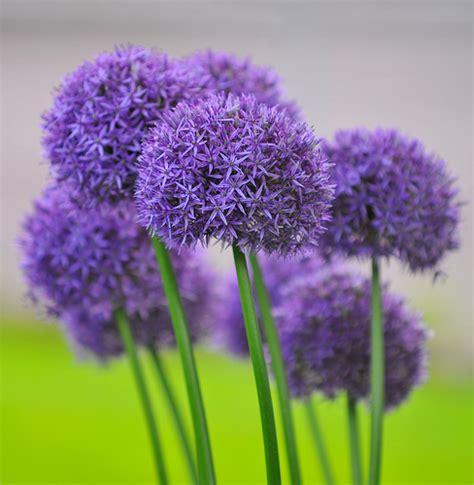 purple ball flowers flickr photo sharing