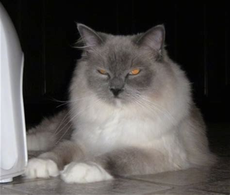 Ragdoll Cat Shedding by Ragdoll Cat Breed Information And Pictures