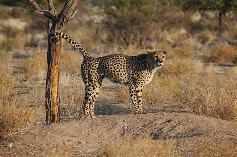 south african cheetah simple english wikipedia the free file acinonyx jubatus southern namibia 8 jpg wikimedia